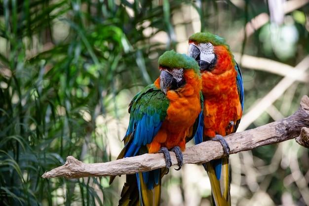 Красивая пара красных ара в лесу
