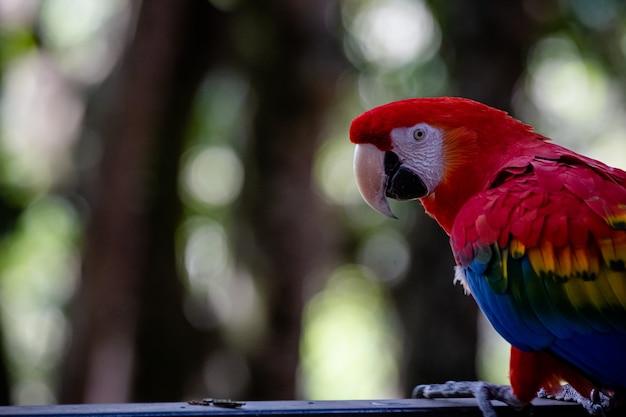 Красивый красный ара кормления в саду