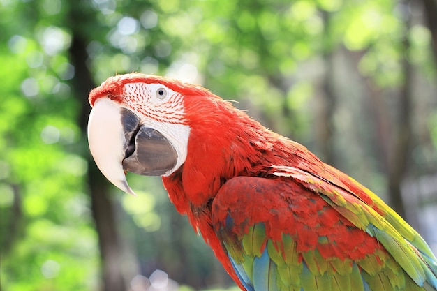 Beautiful red macaw parrot on blurred.