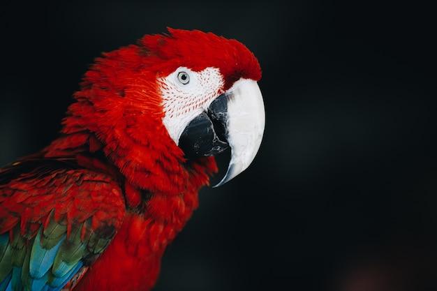 暗闇の中で美しい赤いコンゴウインコのオウム