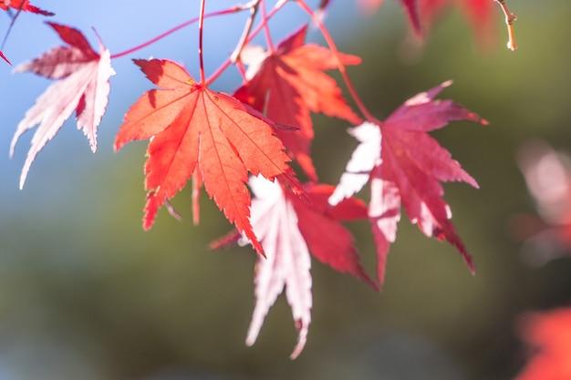 秋の晴れた日の美しい赤いカエデの葉、青い空、クローズアップ、コピースペース、マクロ