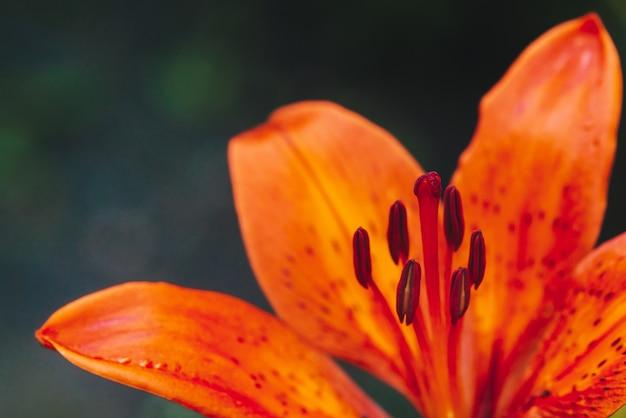 Beautiful red orange lily. big pistil and stamens of blooming flower in macro.