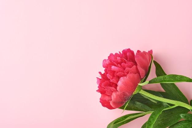 아름다운 붉은 모란 꽃은 분홍색 배경, 위쪽 전망, 복사 공간, 평평하게 놓여 있습니다. 발렌타인 데이, 어머니의 날 배경입니다.