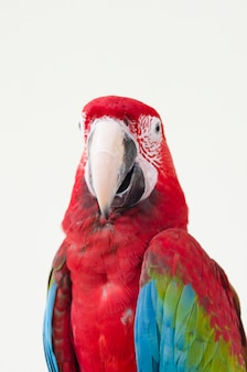 Beautiful red pet parrot macaw