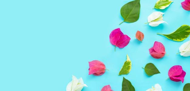 青の背景に美しい赤、ピンク、白のブーゲンビリアの花。上面図