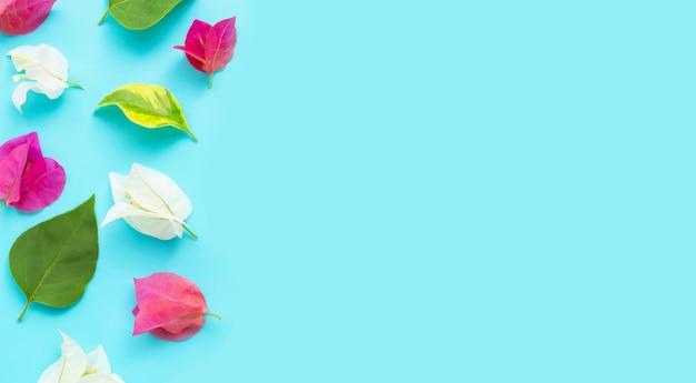 青い背景に美しい赤、ピンク、白のブーゲンビリアの花。上面図