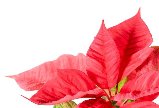 白で隔離の美しい赤いポインセチア。その赤い植物-クリスマスのシンボル。