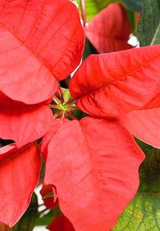美しい赤いポインセチア。その赤い植物-クリスマスのシンボル。