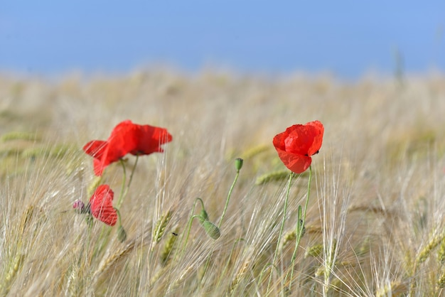 Beautiful red poppies flowers blooming in a cereal field  under blue sky