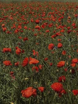 아름 다운 붉은 양 귀 비 꽃 필드입니다. 여름 꽃 자연 배경