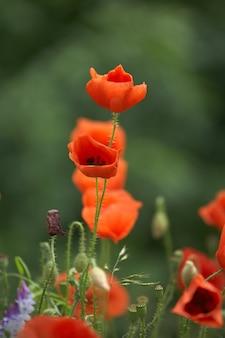 夏の畑の美しい赤いポピー。アヘンの花、野生のフィールド。夏の花の背景。
