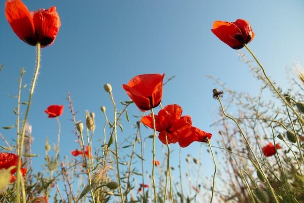 푸른 하늘 배경에 아름 다운 붉은 양 귀 비