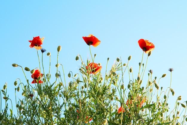 푸른 하늘 배경으로 아름 다운 붉은 양 귀 비