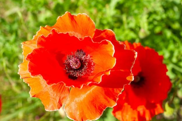 Красивые красные цветы мака в небольшом саду в солнечный летний день
