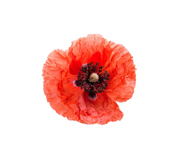 Beautiful red poppy isolated on white.