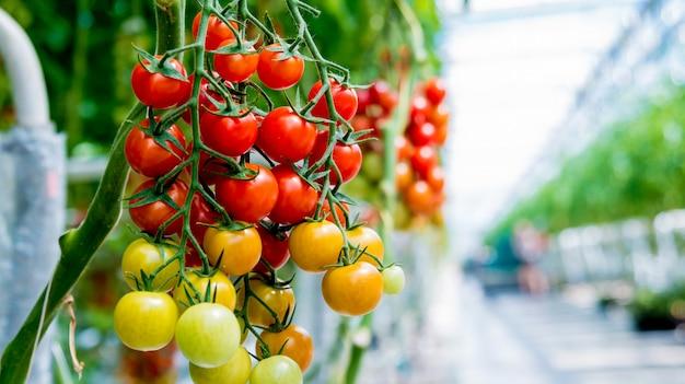 Красивые красные спелые помидоры, выращенные в теплице.