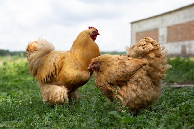 Красивый красный петух и курица лижут на траве