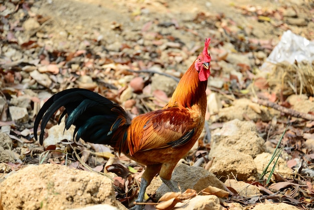 The beautiful red rooster walking on the ground