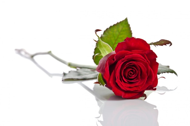 Beautiful red rose on a bright background