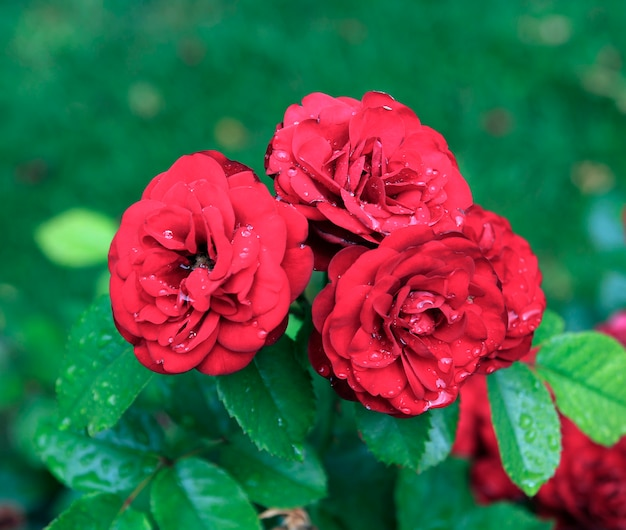 Beautiful red rose in garden after rain.