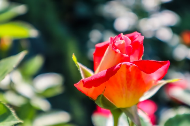 Beautiful red rose in the garden perfect for greeting card