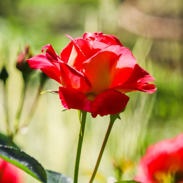 背景のグリーティングカードに最適な晴れた日に庭の美しい赤いバラ