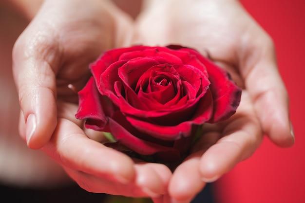 빨간색 배경에 여자 손에 아름 다운 붉은 장미. 발렌타인 데이