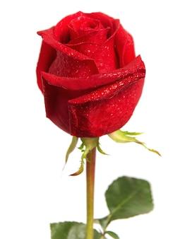 白い背景で隔離の美しい赤いバラ