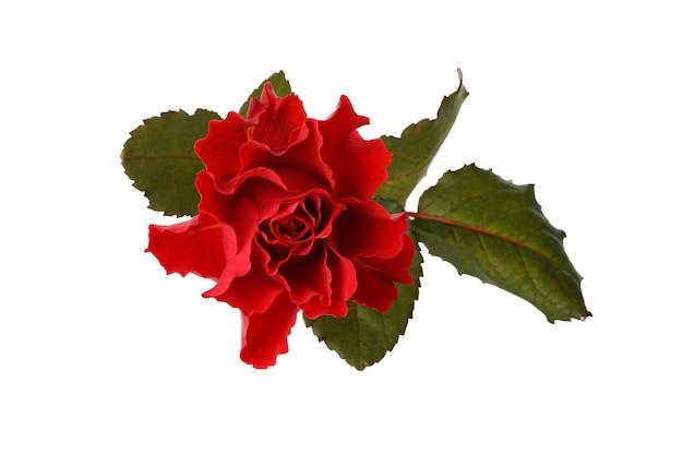 Красивая красная роза, изолированные на белом фоне