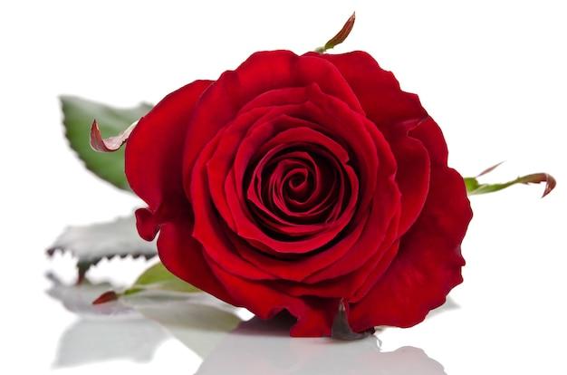 아름 다운 붉은 장미 흰색 절연