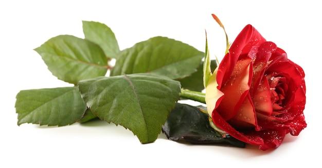 Красивая красная роза, изолированные на белом фоне Premium Фотографии