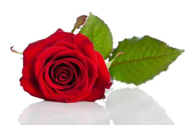 Beautiful red rose isolated on white