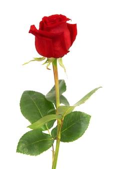孤立した美しい赤いバラ