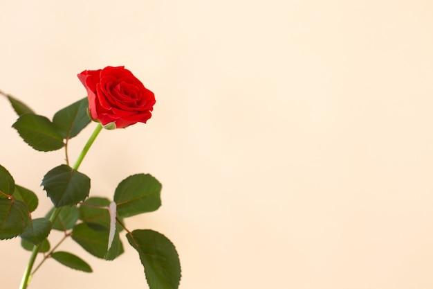 Beautiful red rose on light background. minimalism