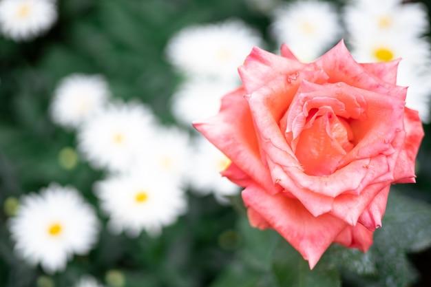 白いヒナギクの背景に美しい赤いバラ