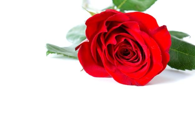 白い背景の上の美しい赤いバラ