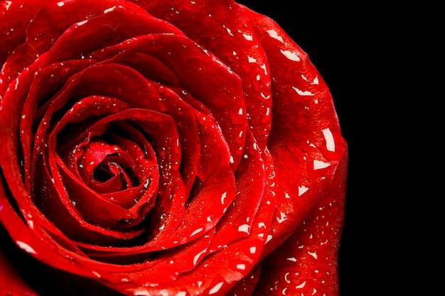 黒い表面に美しい赤いバラ