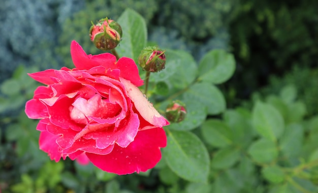 グリーティングカードの庭の完璧な背景に露のしずくと美しい赤いバラ