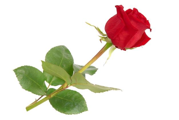 白い背景で隔離の緑の葉と美しい赤いバラ