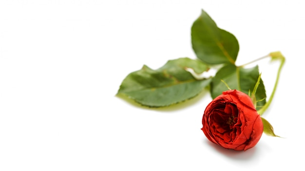 Beautiful red rose with leaves on white