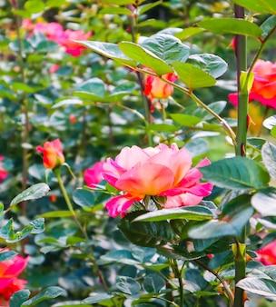 晴れた日の真夏の庭の美しい赤いバラ