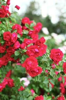 Красивые красные розы в саду