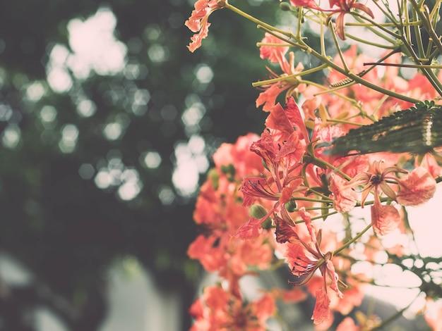 Красивый красный королевский яркий цветок poinciana. красивый красный королевский пуанчиана или яркий цветок (delonix regia). это вид цветковых растений семейства бобовых. рай, бойант.