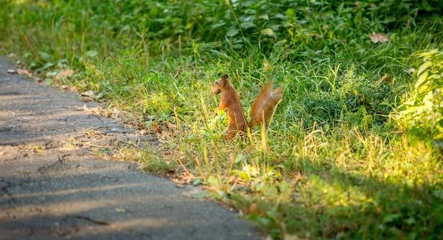 高い草に立って木の実を運ぶ美しい赤リス