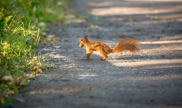 道路を走って木の実を運ぶ美しい赤リス