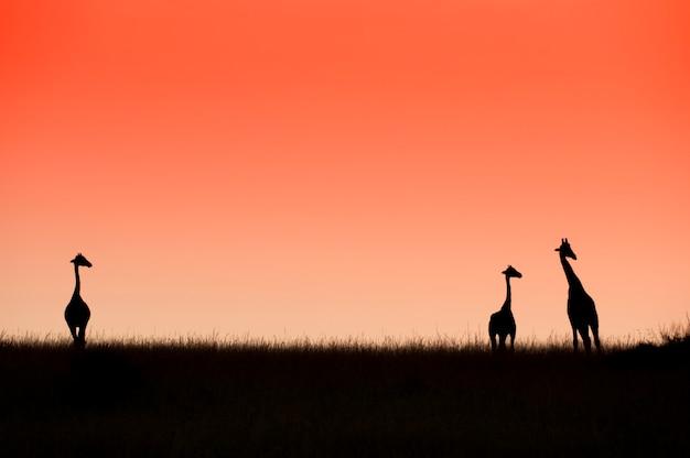 3匹のキリンと美しい赤い日の出。マーチソン国立公園が落ちる。ウガンダ。アフリカ