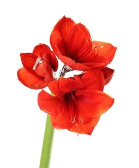 白で隔離の美しい赤い熱帯の花