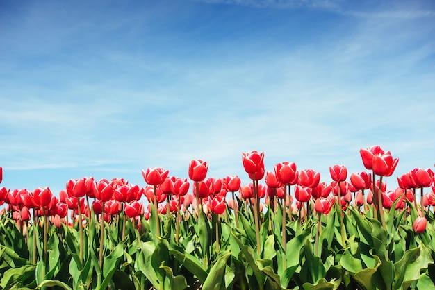 オランダの美しい赤いチューリップ畑。