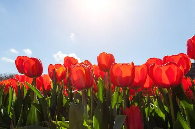 Красивые красные тюльпаны на фоне голубого неба
