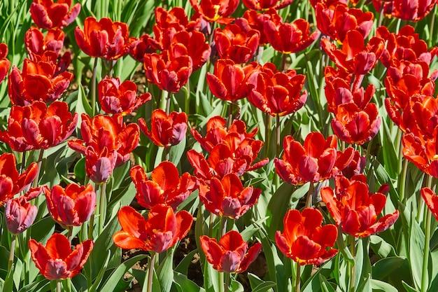 春の庭に咲く美しい赤いチューリップ。明るい春の風景。
